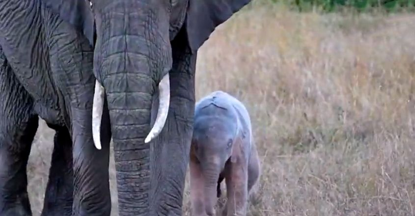 Rare Pink Elephant Calf Spotted
