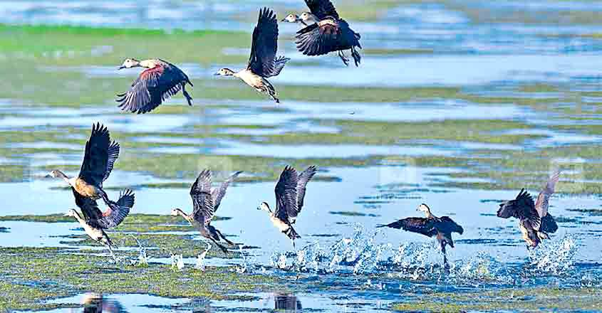 Lesser whistling ducks sighted in wetlands