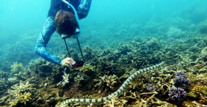 Snorkeling grandmothers reveal large deadly sea snake