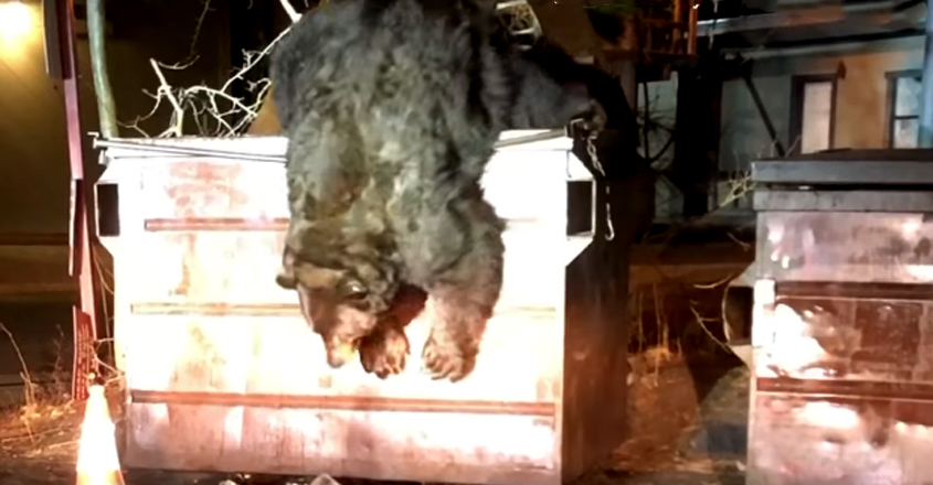 Chubby Bear Needs A Helping Hand After Getting Himself Stuck In A Dumpster