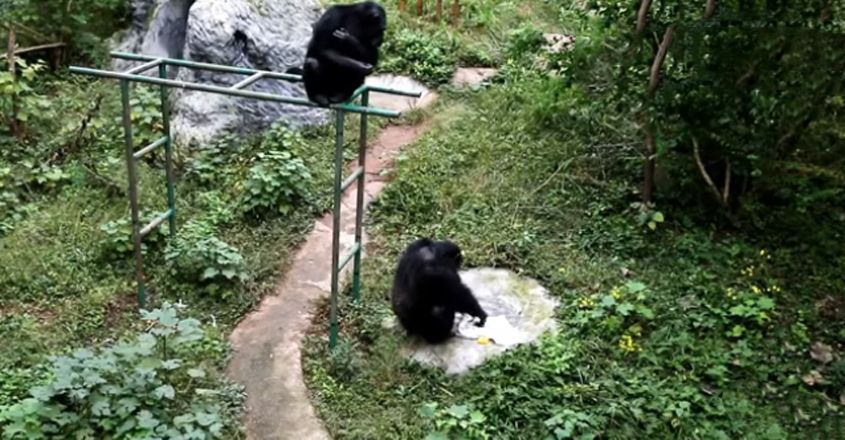 Chimpanzee Washes Clothes After Watching Zookeeper Do It ‌