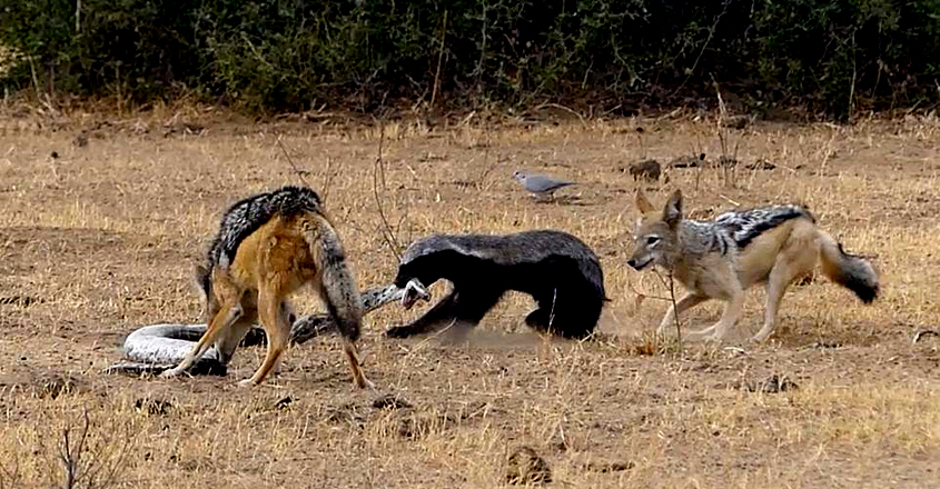 Honey badger escapes python's coils then fights off jackals