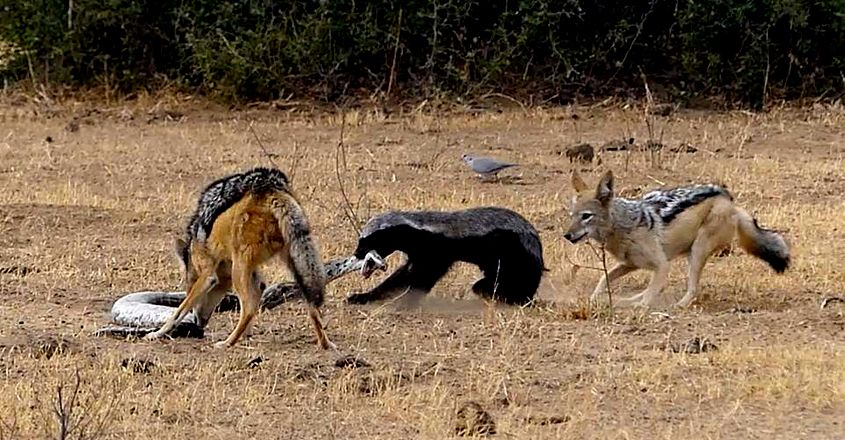 Honey badger escapes python's coils then fights off jackals