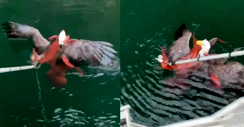 Men Rescue Bald Eagle from Being Swallowed by Octopus