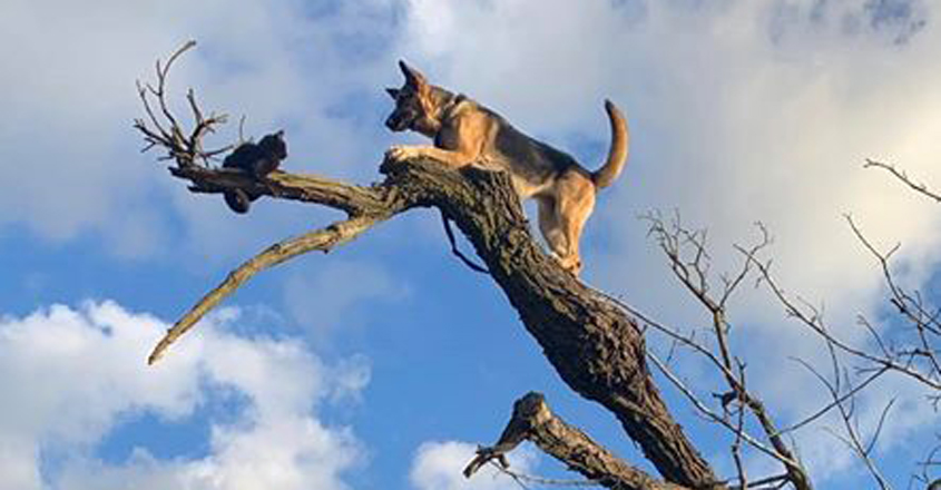 Dog Stranded On Tree After Chasing Cat