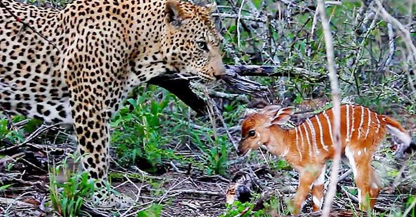 Baby Nyala Charges At Leopard Repeatedly In Bid To Escape
