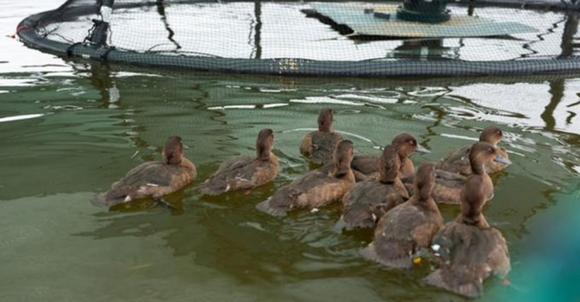 Madagascar pochards