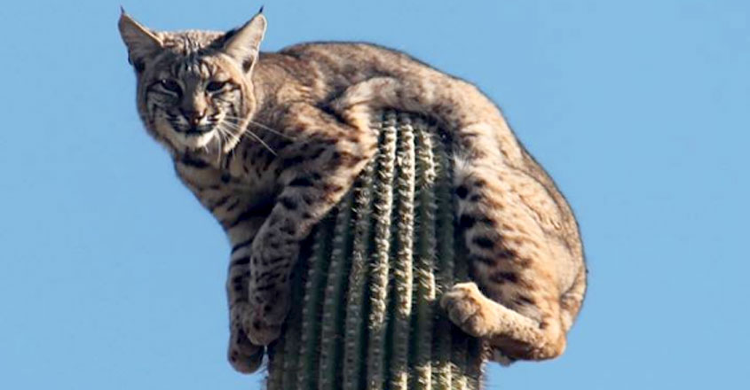 Bobcat on Cactus