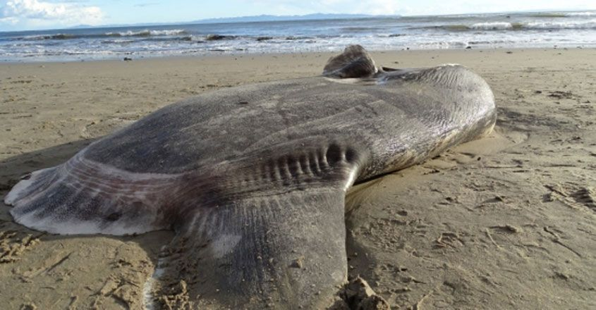 Hoodwinker Sunfish washes up on a California beach