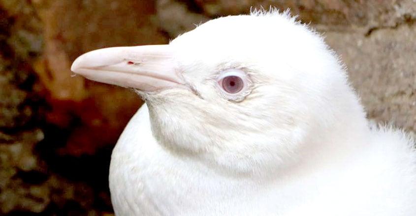 Albino Penguin Chick