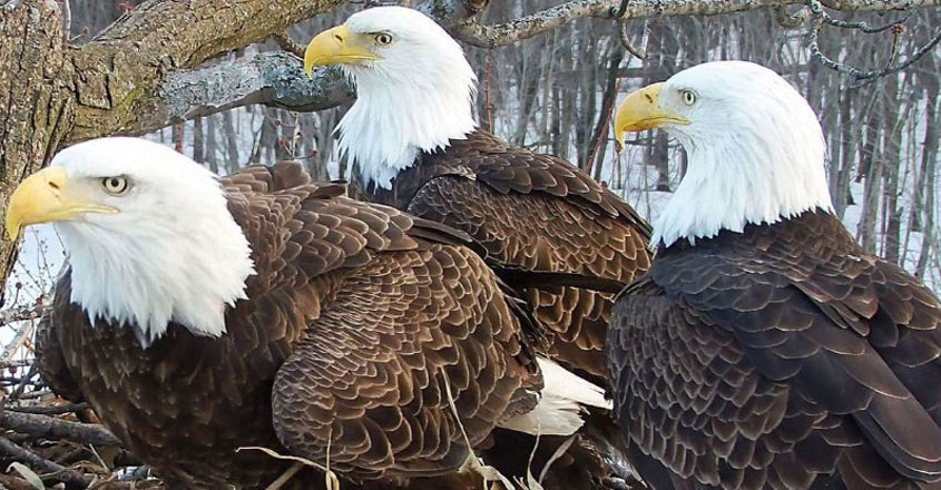 A Rare Family of 3 Eagle family