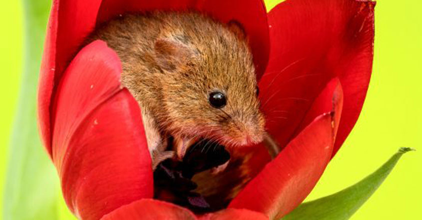 Harvest mice nestled in tulips
