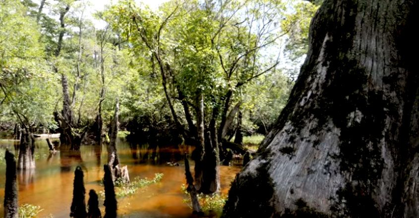 A 2,624-Year-Old Tree Has Just Been Found Growing in a Swamp in America