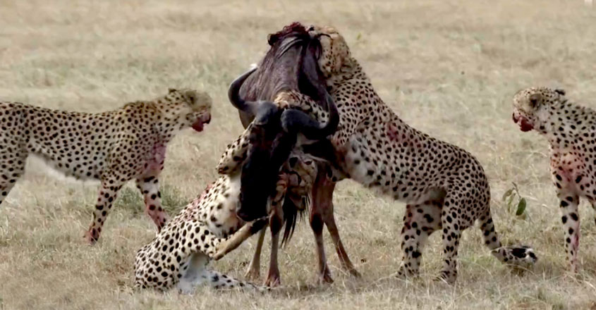 Hungry Cheetahs Take Down Wildebeest