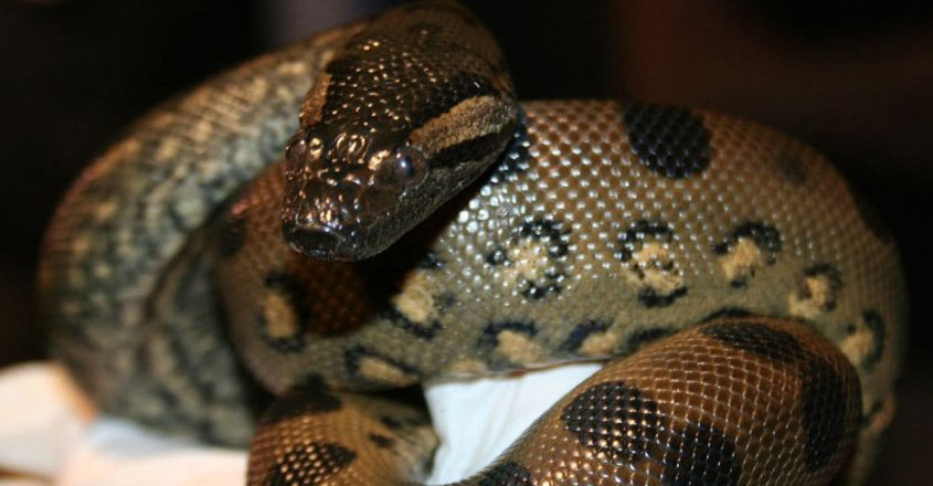 In 'virgin birth,' snake gets pregnant by herself at Boston