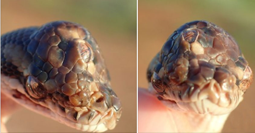 Three-Eyed Snake Discovered In Australia