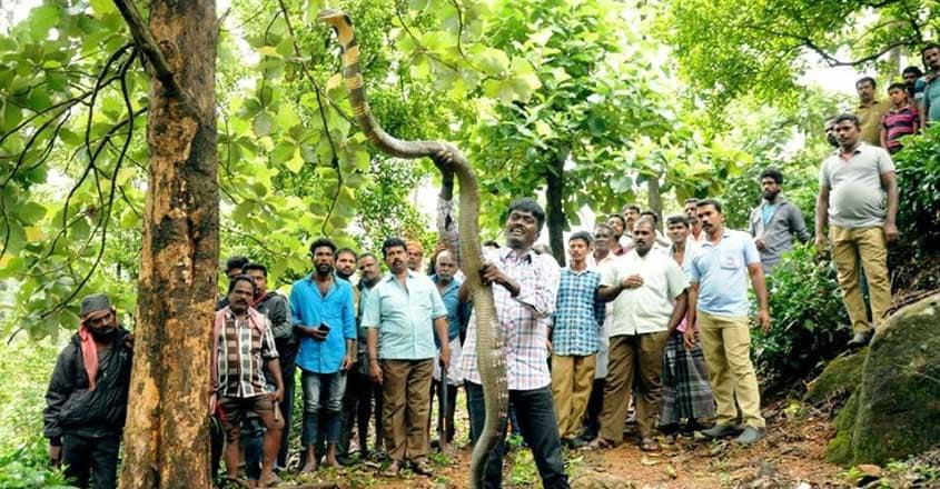 Vava Suresh Caught King Kobra at Aryankavu