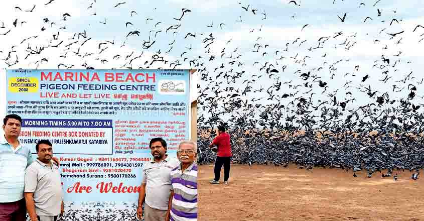 Feeding pigeons, a daily tradition for volunteers at Marina