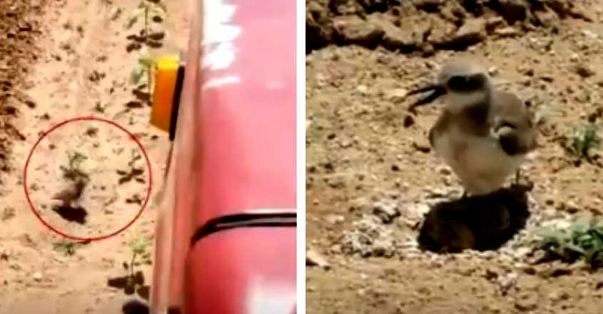 Bird Stops Moving Tractor To Protect Eggs