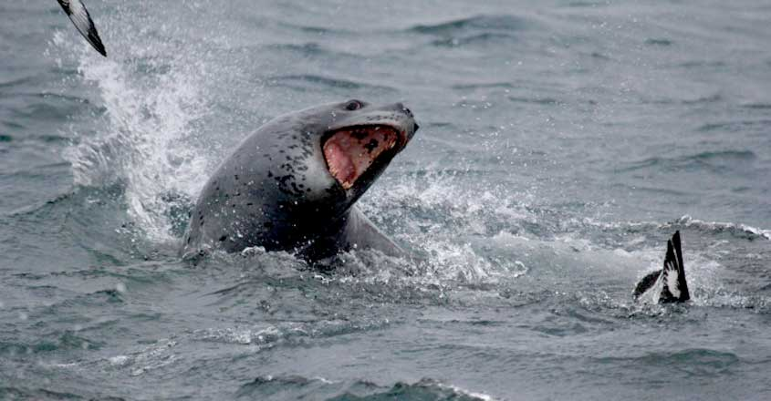Leopard seals filmed sharing food for the first time