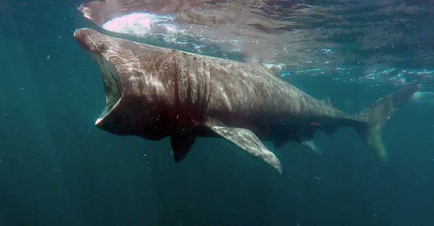 Second-Largest Living Sharks Caught On Video In Scottish Waters With SharkCam