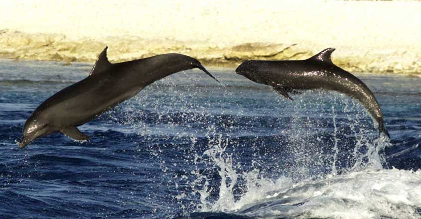 Dolphins Adopt an Orphan From Another Species