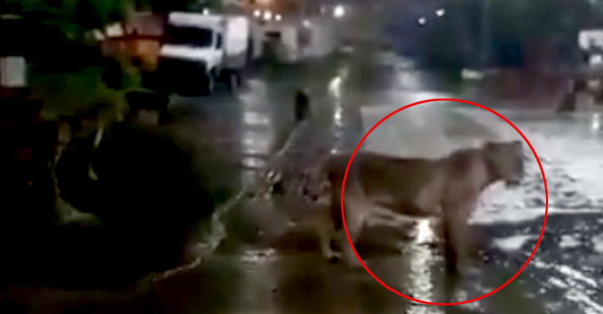 Lions Decided To Take A Midnight Stroll In The Streets