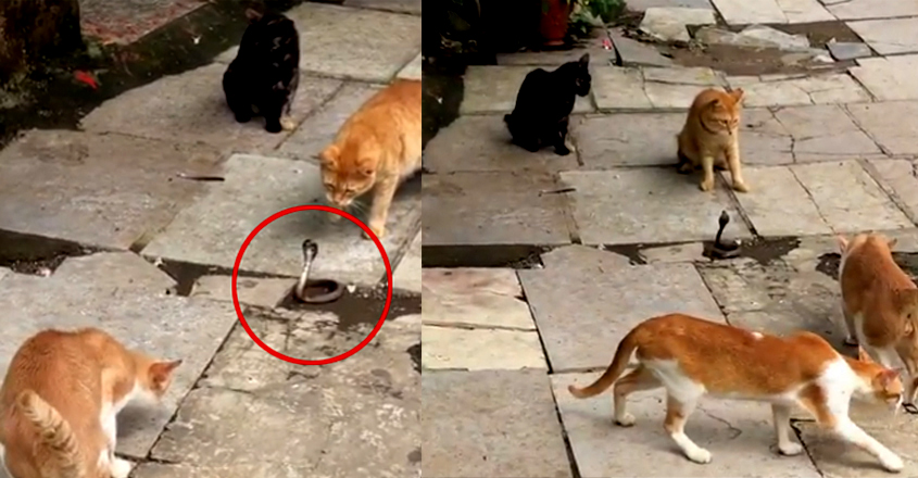Four Cats Fight A Snake