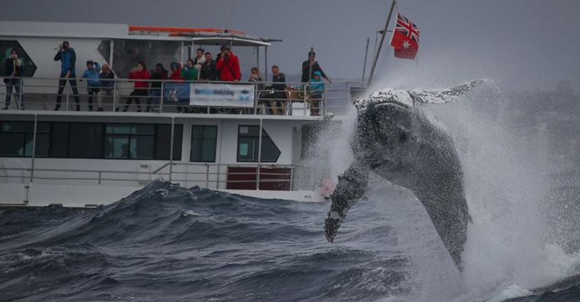 Giant Humpback Whale Breached Out Of The Ocean