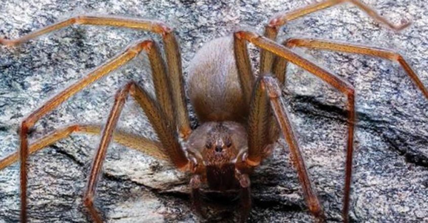 New Species Of Spider With Flesh-Eating Venom Found In Mexico