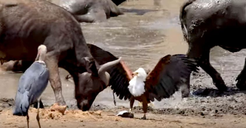 An aggressive eagle steals fish from two birds