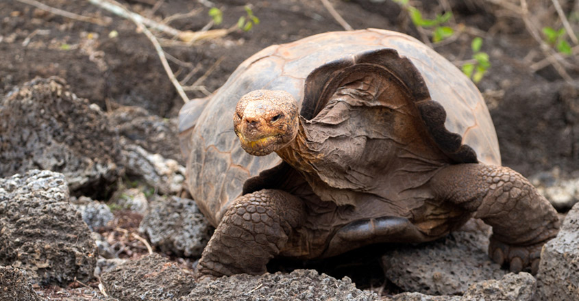 Tortoise with species-saving sex drive returns to Galapagos