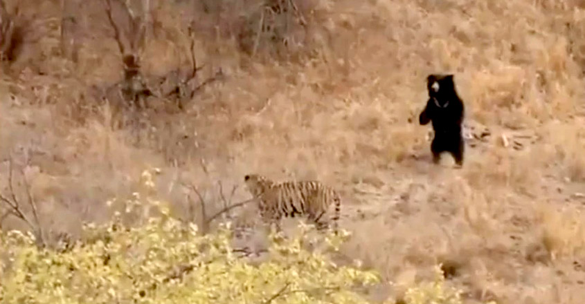 Sloth bear scares off tiger during clash at Ranthambore National Park
