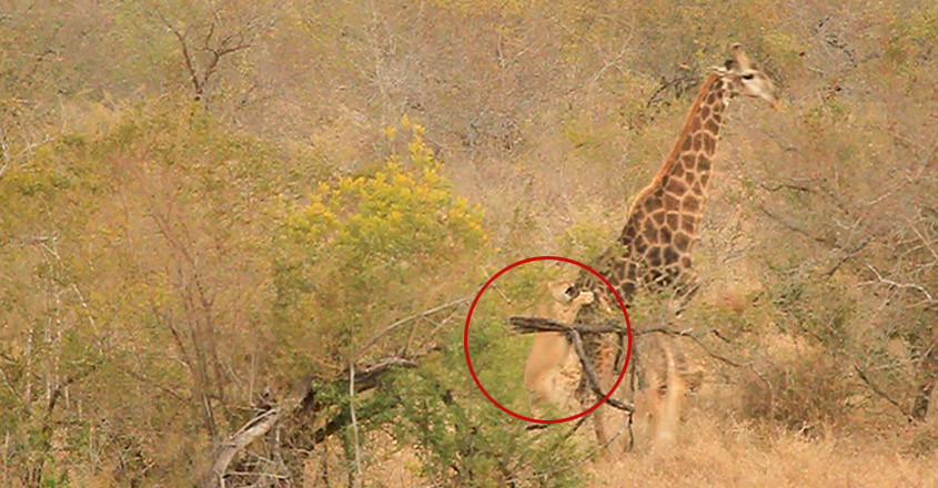 Giraffe Kicks Lions To Defend Itself