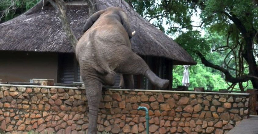 Elephant Climbs 5-Ft Wall Just To Steal Mangoes