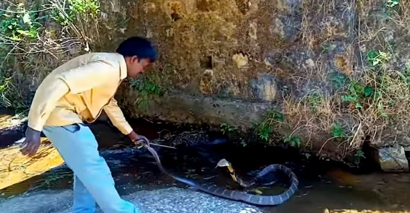 Vava Suresh caught 179th king cobra