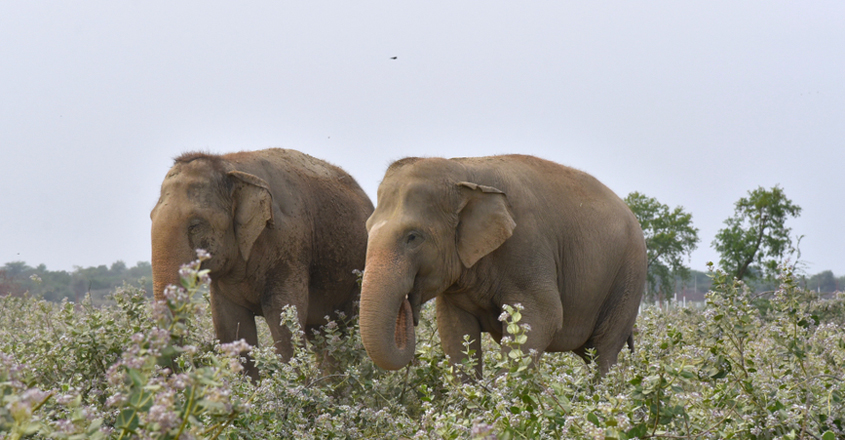 Forest Officials Train Three Elephants to Catch a Killer Leopard in UP