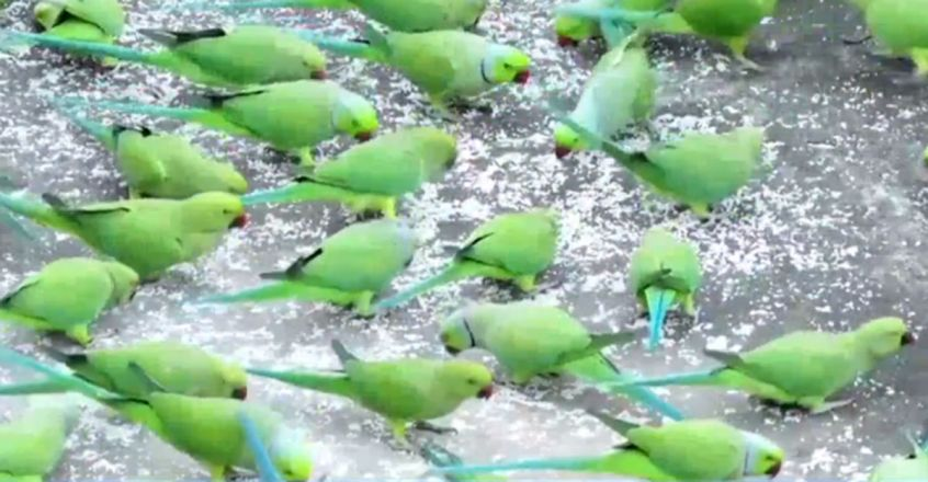 This man feeds thousands of parrots everyday