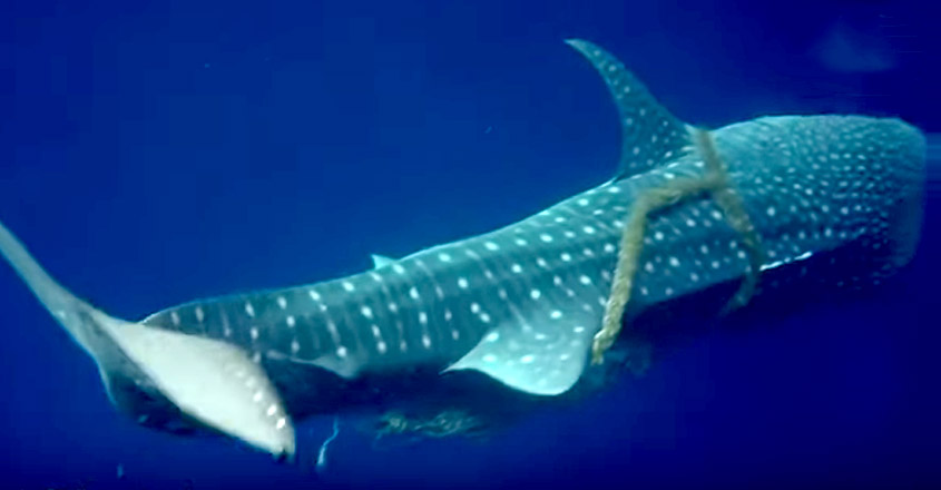 Brave divers perform incredible rescue of whale shark caught in a piece of rope