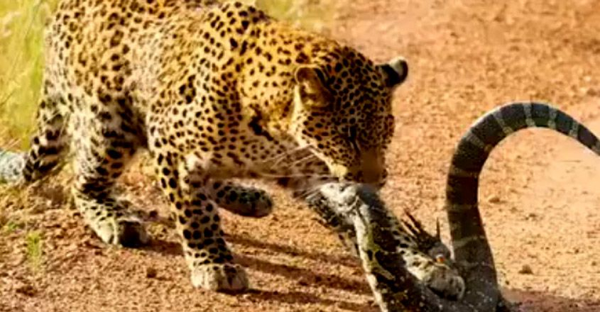 Leopard Vs Monitor Lizard Fight