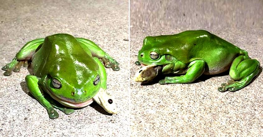 green tree frog devouring deadly coastal taipan