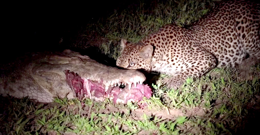 Leopard Pulling out Meat from Sleeping Crocodile's Mouth