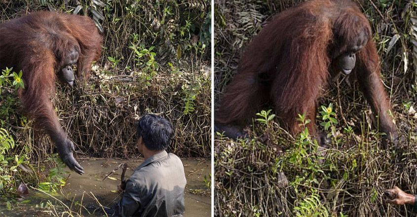 An Orangutan Extends A Helping Hand To Man In River