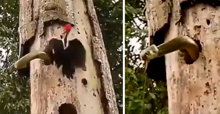 Woodpecker Fighting A Snake To Save Its Babies