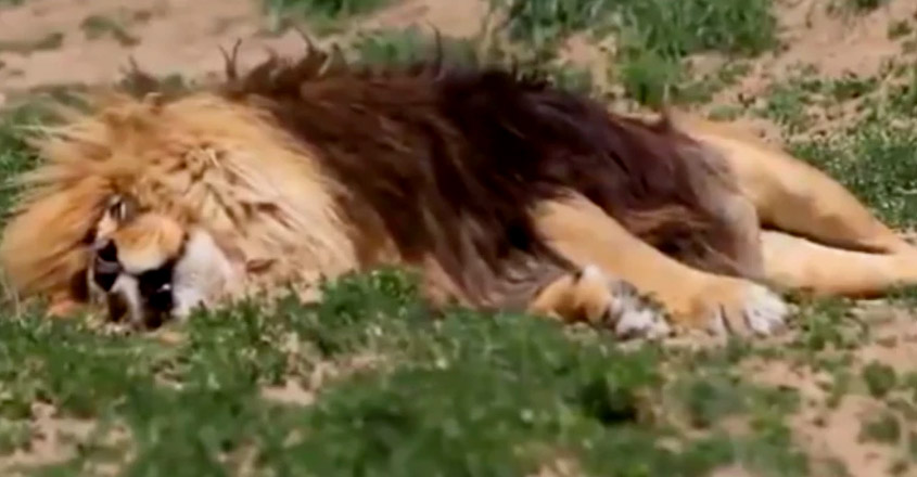 lion sounds like when he snores