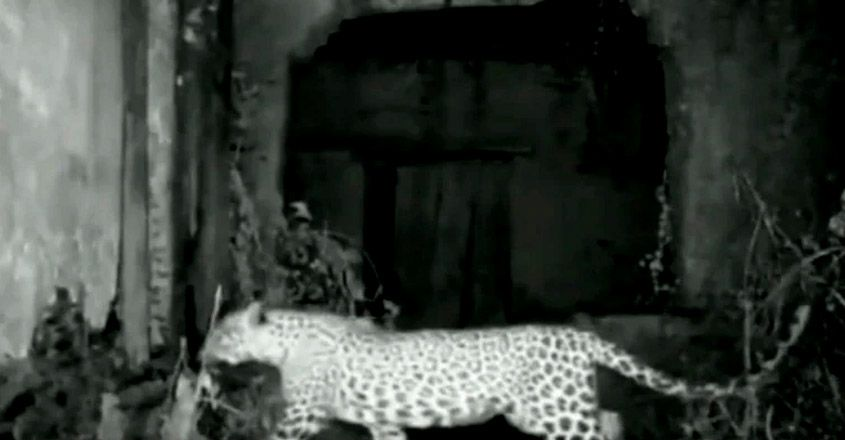 :Leopardess occupies abandoned house in Rajasthan village for her three cubs