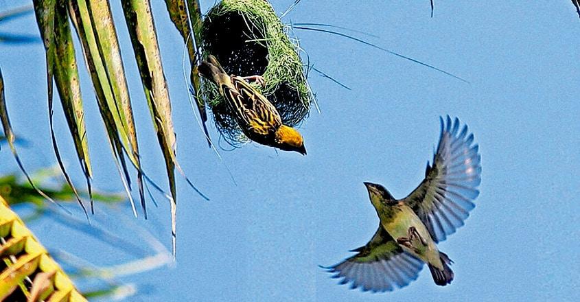 Baya weaver The king of nest building birds