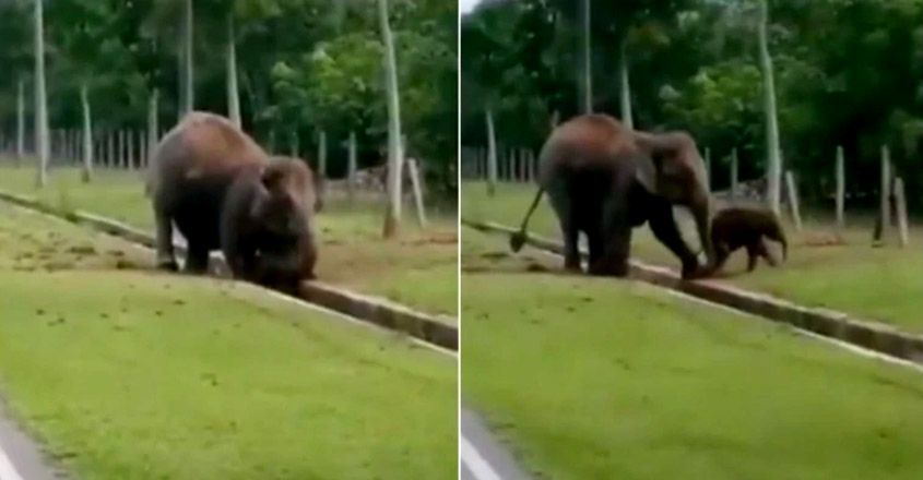 Mother elephant rescues baby from water drain