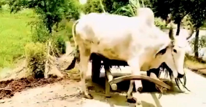 Bull pulls its own cart in viral video