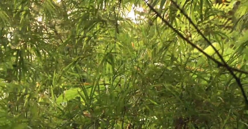 The Man Who Planted 40 Varieties of  Bamboo